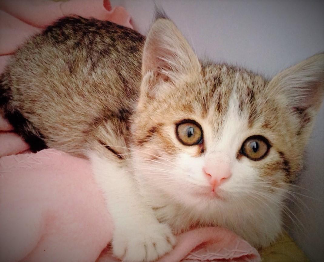 American Curl Cat Rescue Groups
